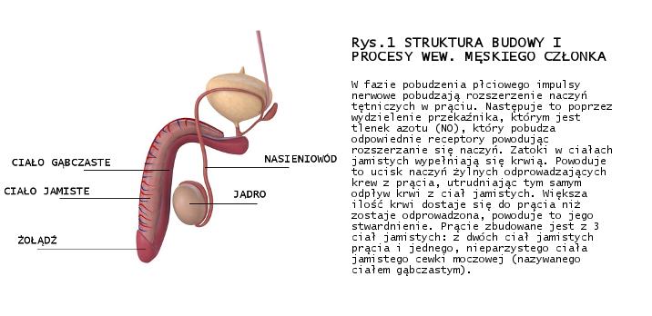 struktura penisa